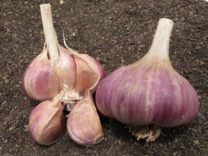Яровой чеснок: перечень лучших сортов, агротехника выращивания крупного овоща в открытом грунте, нюансы ухода за растением и показатели, влияющие на урожайность