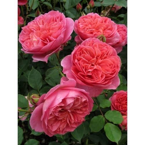 Роза бельведер (belvedere) — описание и характеристики