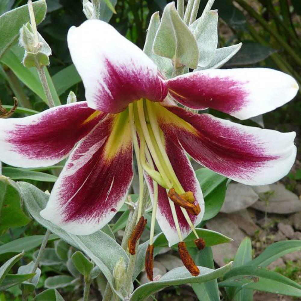 Лилия садовая