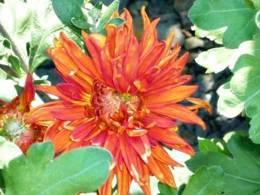 Как спасти хризантему, у которой засохли листья