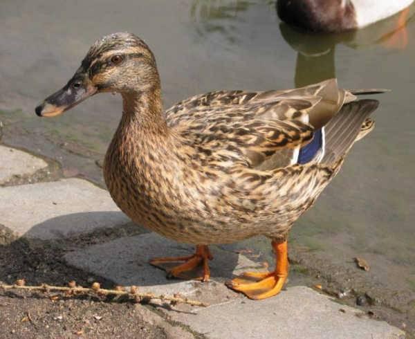 Серая утка — википедия переиздание // wiki 2
