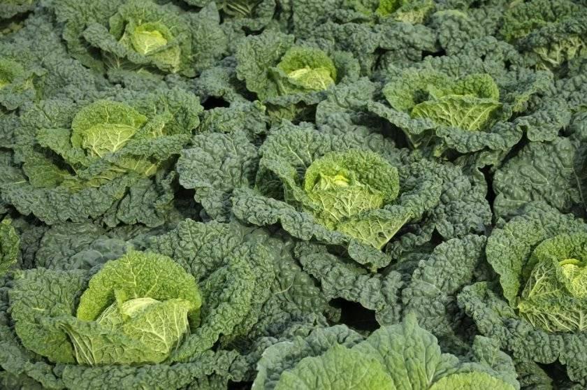 Савойская капуста: выращивание и правила ухода - моя дача - информационный сайт для дачников, садоводов и огородников