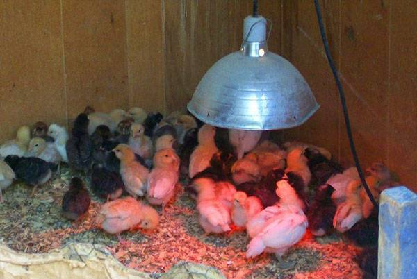 Особенности ухода за цыплятами в домашних условиях, температурный режим