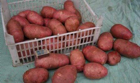 Ред Скарлет: описание сорта картофеля, характеристики, агротехника