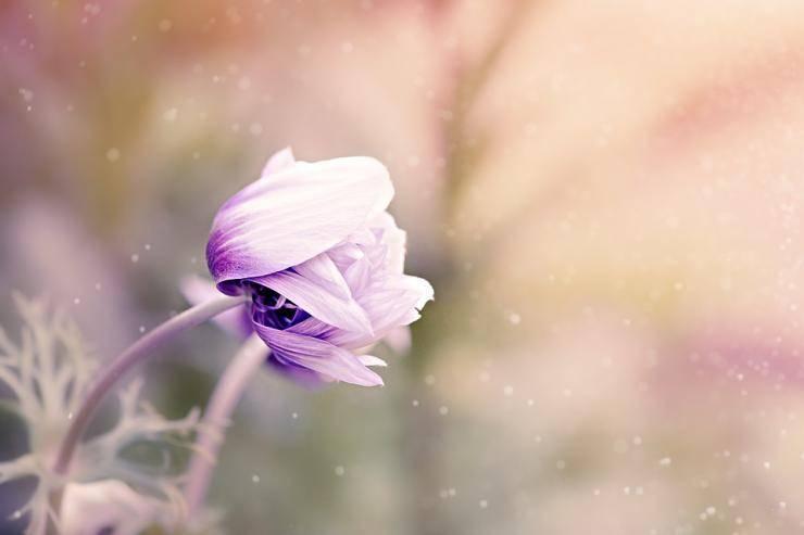 Цветы анемоны (anemone): посадка и уход