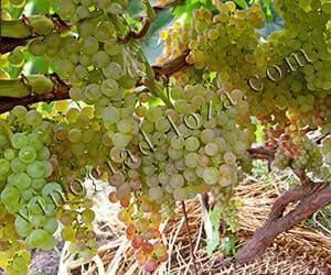 Виноград коринка русская: описание сорта, регион выведения, характеристики и фото