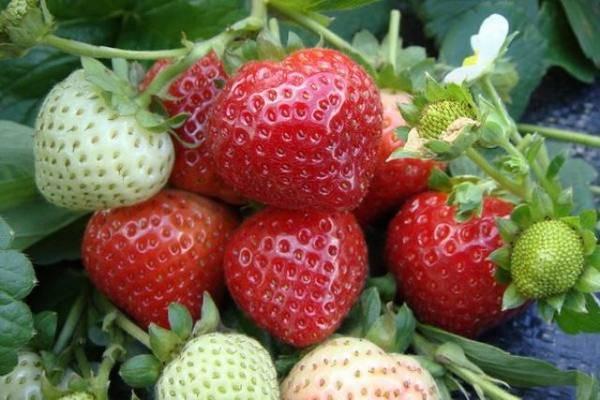 Ремонтантная клубника: посадка и уход, выращивание из саженцев, обрезка, размножение