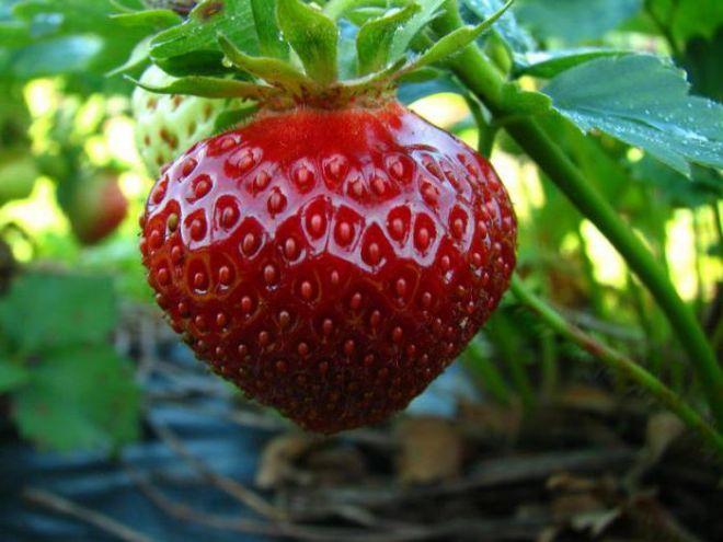 Клубника «ирма» — описание и характеристика сорта, агротехника выращивания и посадки ягоды (фото)