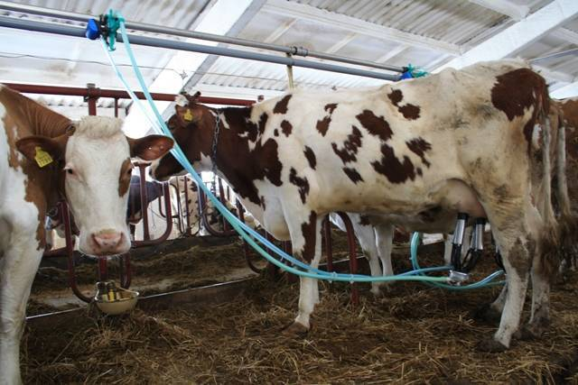 Все про дойку коровы: технологии, оборудование, методики 2020