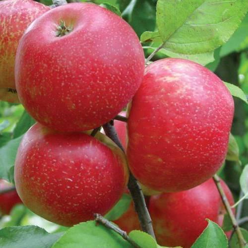 Яблоня хани крисп: описание сорта, фото, отзывы садоводов