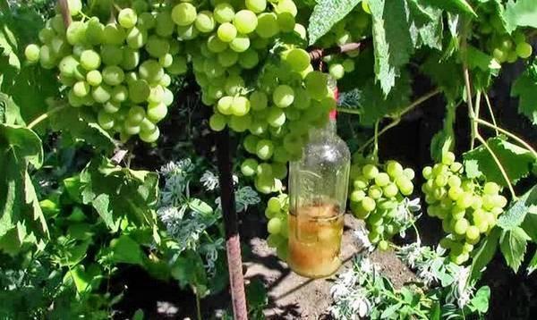 Сибирский виноград уже не экзотика: как виноград оказался в сибири, какие сорта подходят для выращивания в суровом климате