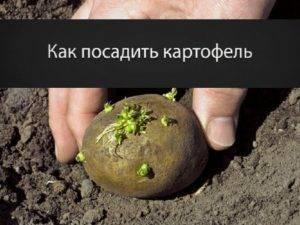 Метод галины кизимы по выращиванию картофеля