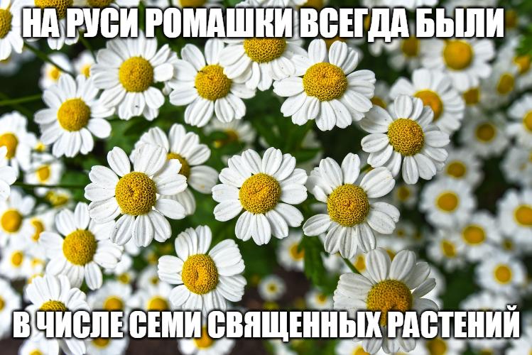 Как заготовить ромашку в домашних условиях. цветки ромашки аптечной, заготовка, инструкция по применению