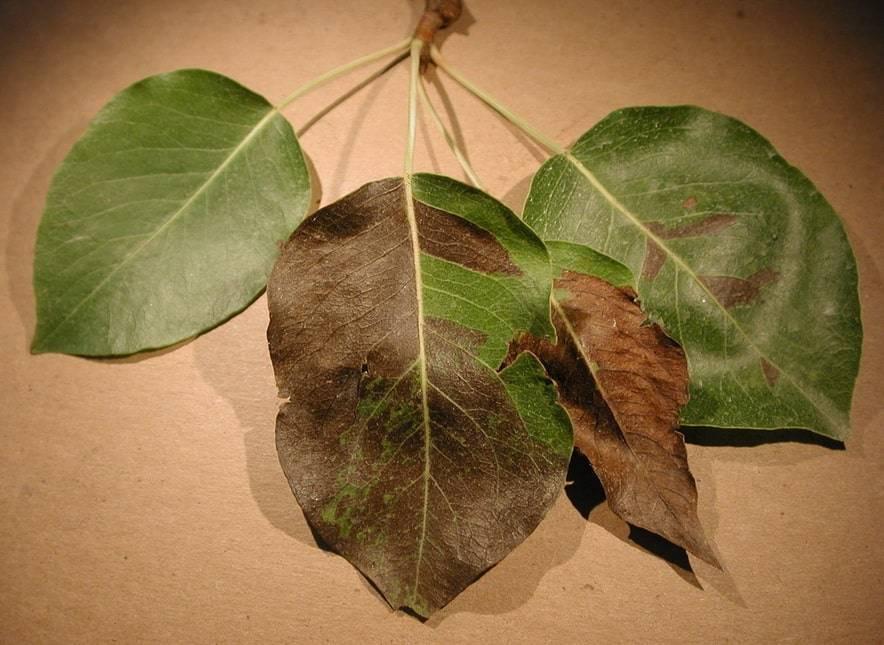 Чернеют листья на груше как лечить: причины заболеваний и эффективные способы их устранения (95 фото и видео)