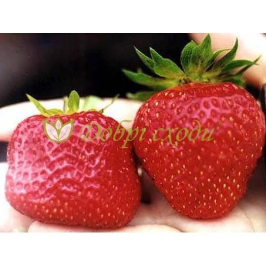 Характеристика и выращивание клубники «зефир»