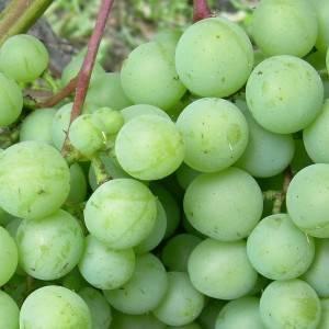 Сорт винограда дружба — ягоды грибы