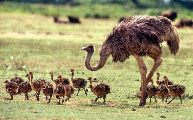 Африканский страус: описание породы, содержание, выращивание, уход и разведение в домашних условиях