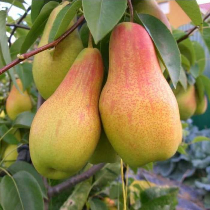 Особенности выращивания лучшего летнего сорта груши любимица клаппа