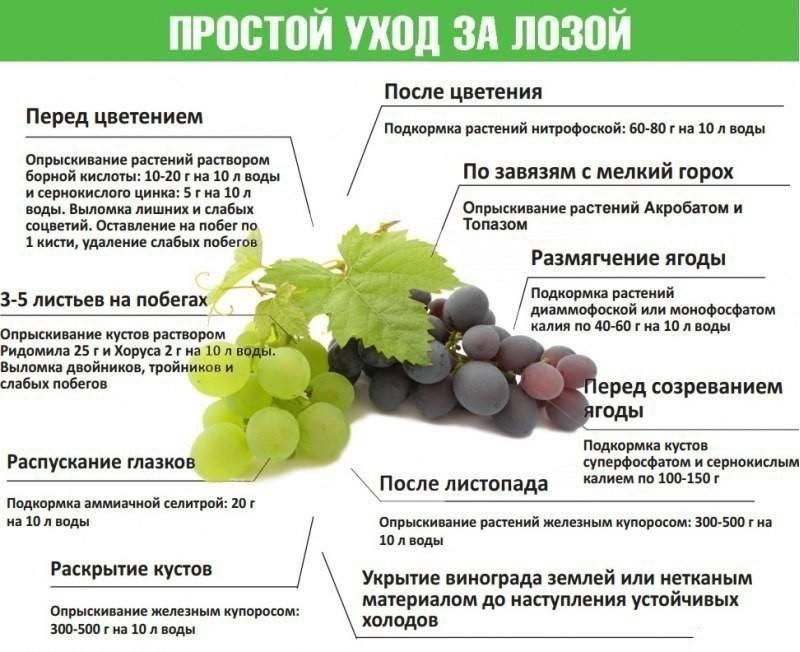 Чем подкармливать виноград весной, во время цветения и летом, для увеличения урожая