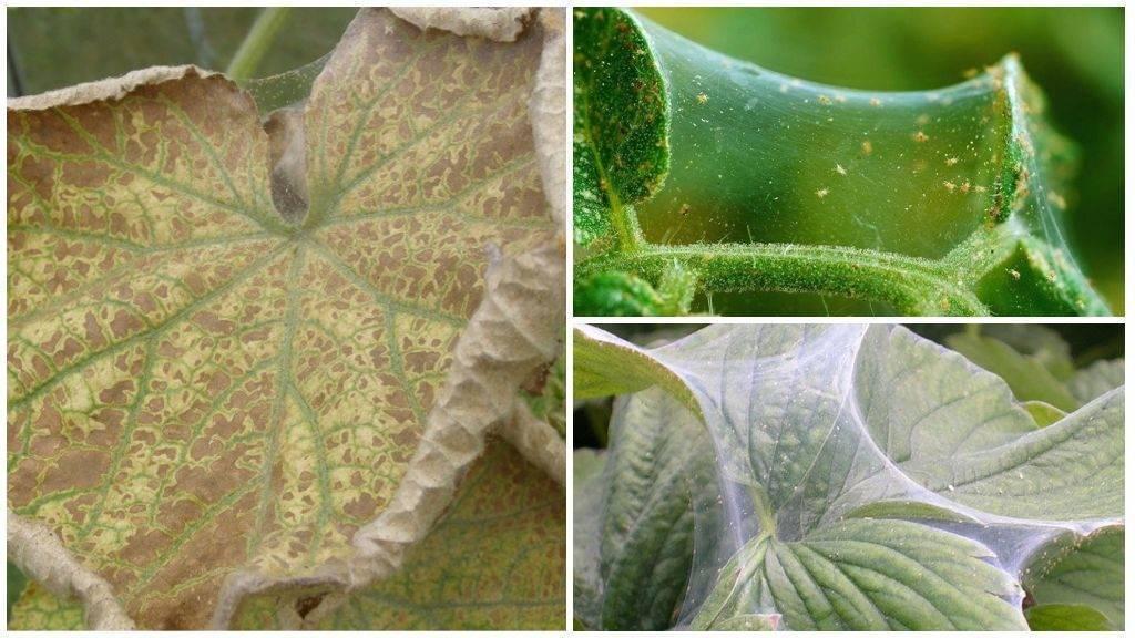 Как избавиться от паутинных клещей на огурцах
