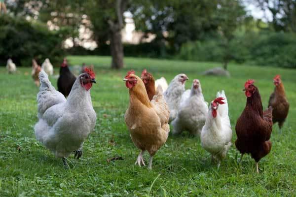 Цыплята бройлеры в домашних условиях клюют друг друга что делать