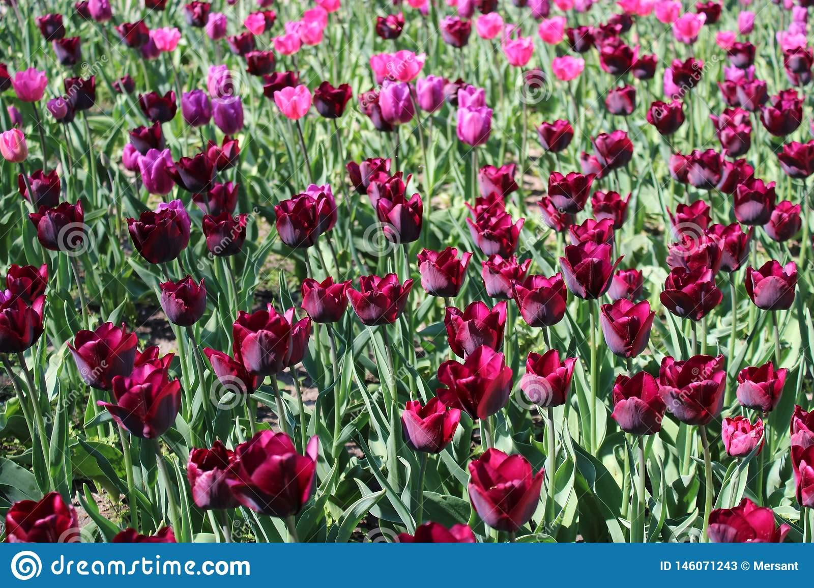 Тюльпаны: выращивание и уход. цветы тюльпаны - фото