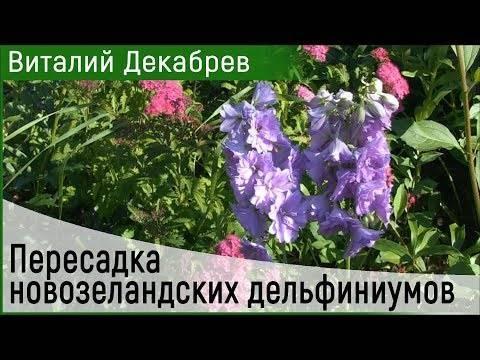 Дельфиниум многолетний – посадка и уход за цветком