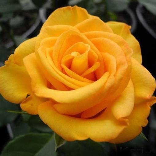 Описание розы керио