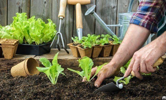 Когда нужно сажать капусту на рассаду и в открытый грунт в 2019 году