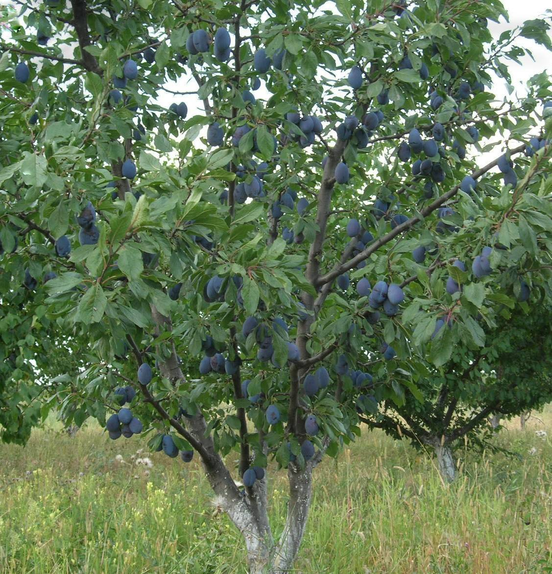 Выращивание сливы синий дар