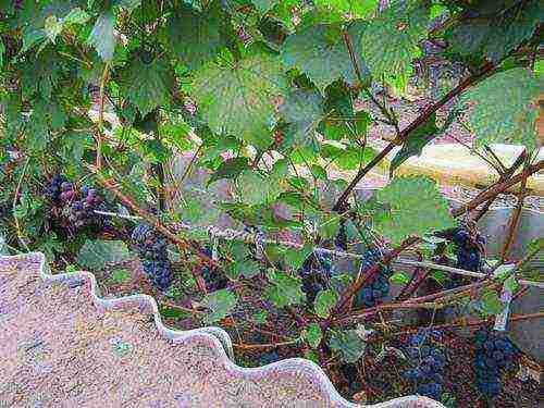 Опыт выращивания винограда в сибири