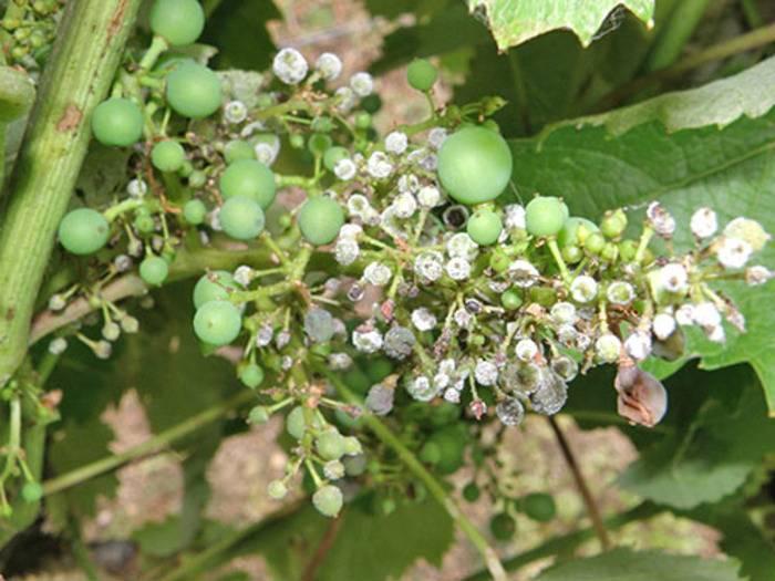 Болезнь винограда мильдью – как с ней бороться