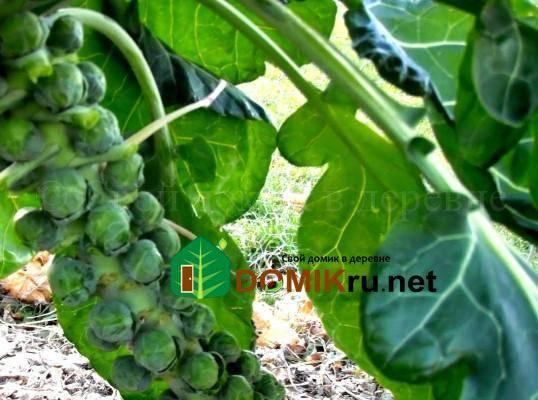 Как вырастить брюссельскую капусту на даче в открытом грунте