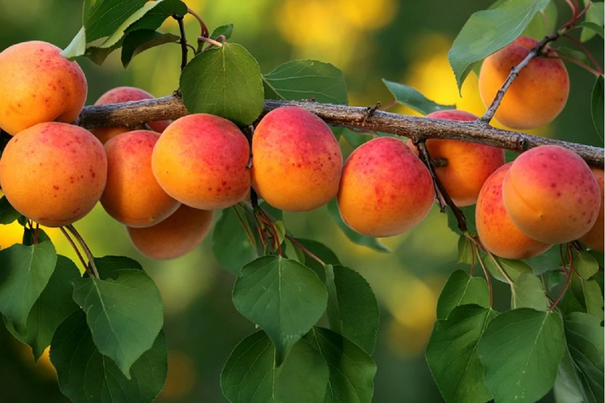 Цветение абрикоса: как и когда цветёт дерево, почему могут отсутствовать цветы и что с этим делать