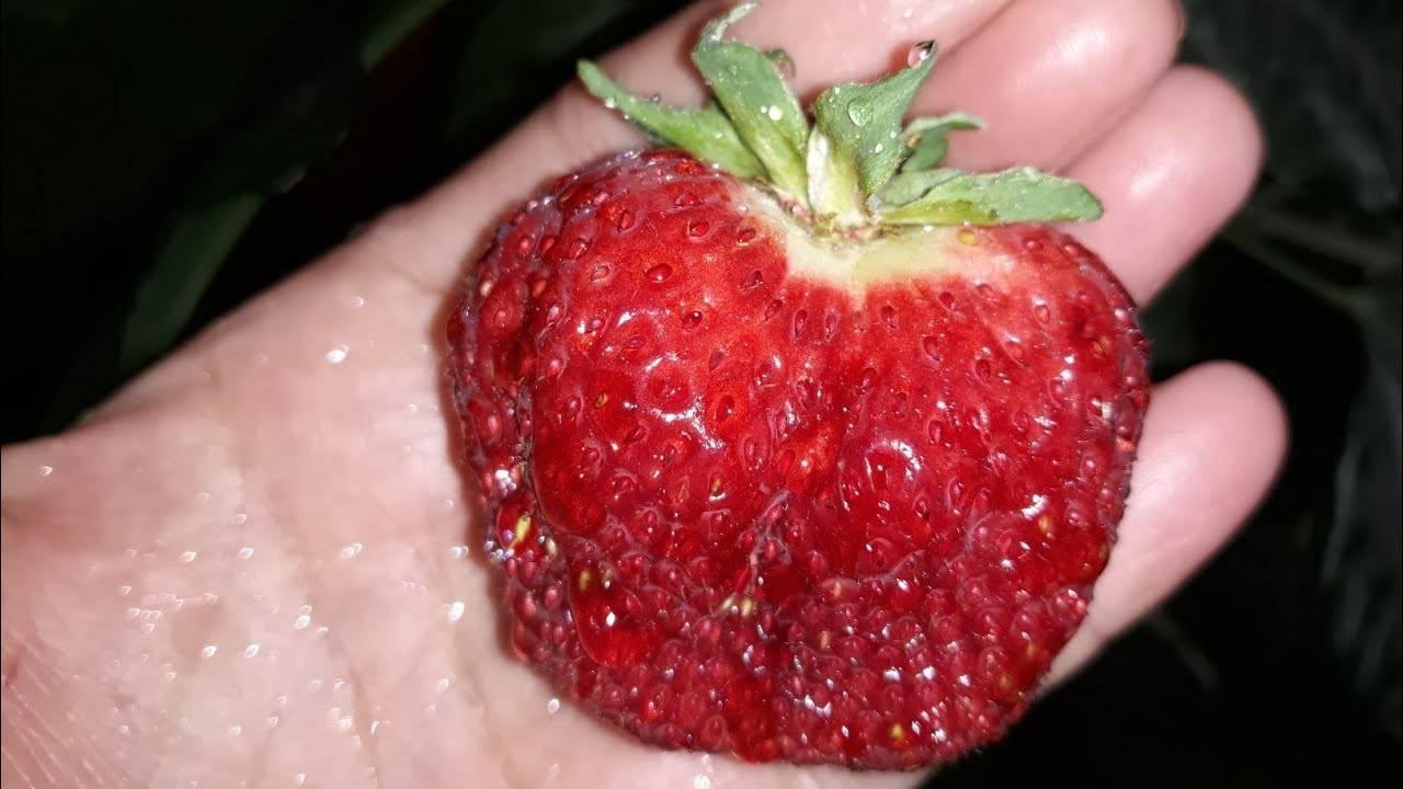 Клубника «полка» — описание сорта, агротехника выращивания, ухода и посадки ягоды в открытом грунте (фото)