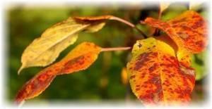 Болезни листьев груши и их лечение с фото