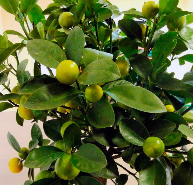 Как вырастить мандарин в домашних условиях?