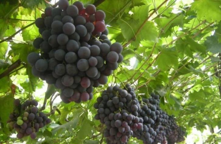 Виноград страшенский — ягоды грибы