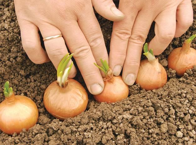Можно ли сажать картофель зеленымиростками