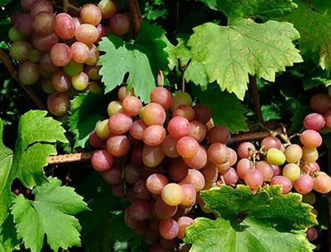 Описание и характеристика винограда ромбик