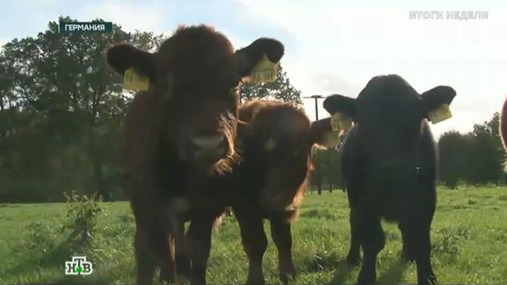 Якутская порода: фото мини коровы, характеристики молока и мяса, телята, как и где купить, отзывы — moloko-chr.ru