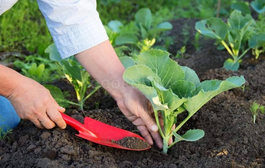 Выращивание рассады капусты в 2019 году: лунный календарь работ