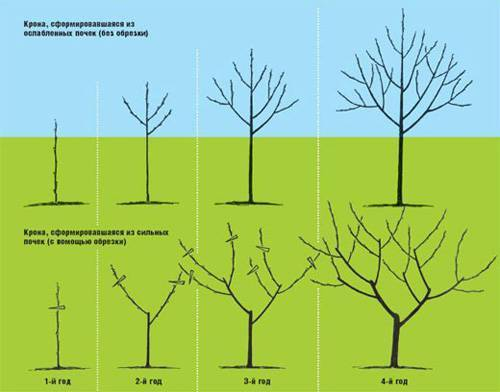 Как обрезать персик осенью: правила, схема, инструкция