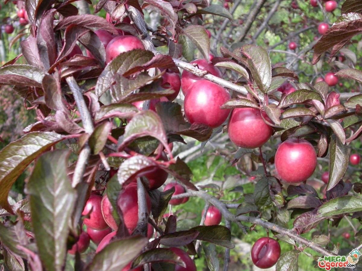 Декоративная слива сорта писсарди — описание и условия выращивания