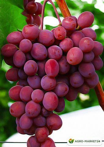 Отличительные особенности винограда долгожданный от других сортов раннего созревания