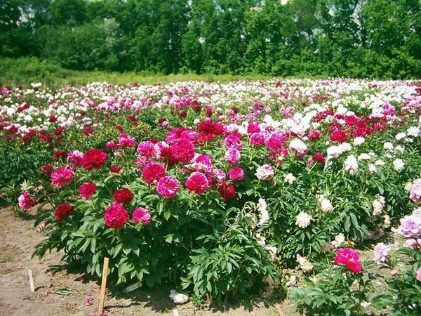 Посадка пионов весной и уход за ними