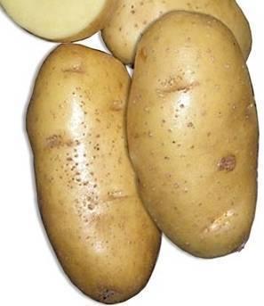 Картофель «скарб»: происхождение, описание и выращивание