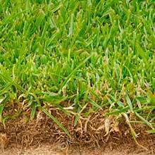 Райграс пастбищный: описание растения