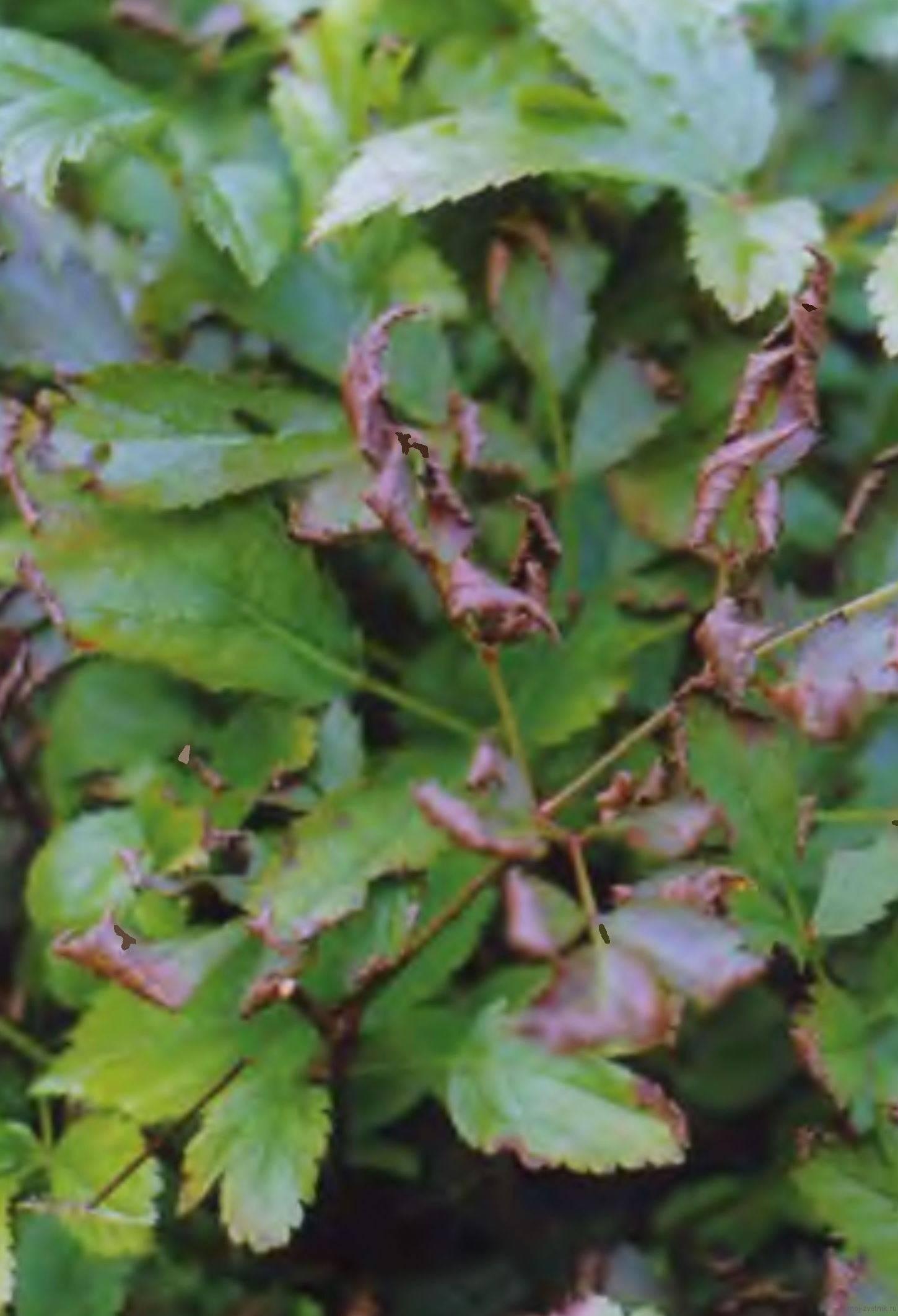 О болезнях и вредителях астильбы: почему и что делать (листья желтеют, сохнут)