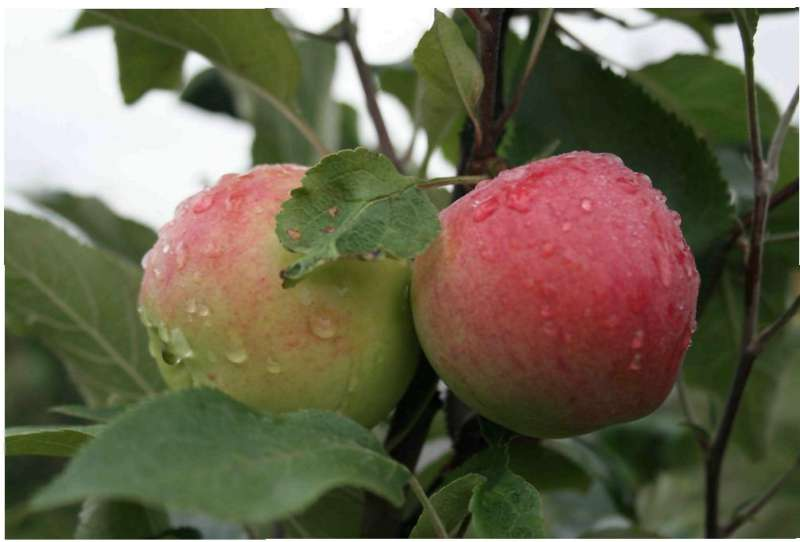 Яблоня мантет: описание и фото сорта, уход и защита от вредителей